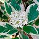 Дерен белый Sibirica Variegata - Cornus alba 'Sibirica Variegata'.  3. 537.